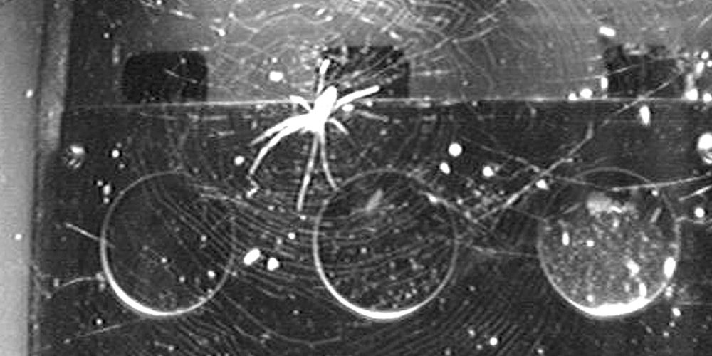 Spiders in space: without gravity, light becomes key to orientation